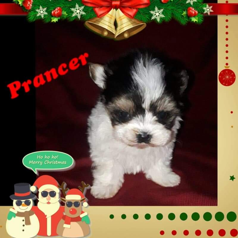 Morkie Puppies - Hometown Puppies of se oklahoma